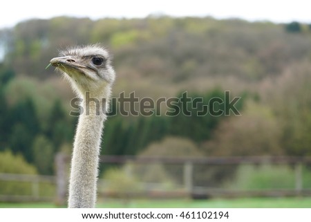 closeup of a severe looking ostrich