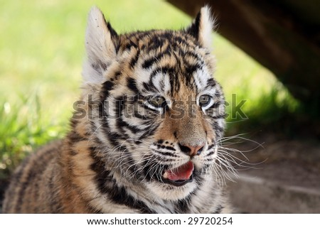 Closeup of a Siberian Tiger Cub laying in the shade. - stock photo