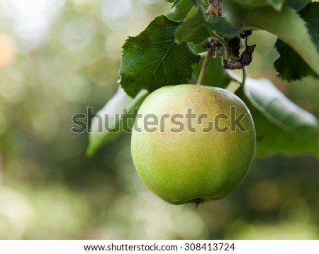 Closeup of a single green apple on a tree - stock photo