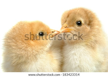 closeup of a small kissing chicks on a white background