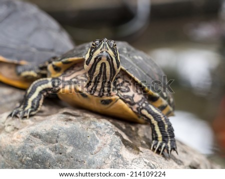 Closeup of a small turtle staring straight at the camera - stock photo