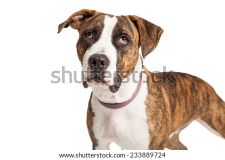 Closeup of a Staffordshire Bull Terrier Mix Breed Dog with a brindle color coat looking upwards.  - stock photo