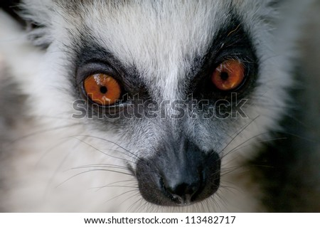 Closeup of a staring ring-tailed lemur