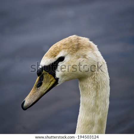 Closeup of a Swan on a River - stock photo