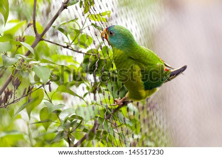Closeup of a Swift Parrot (Lathamus discolor)