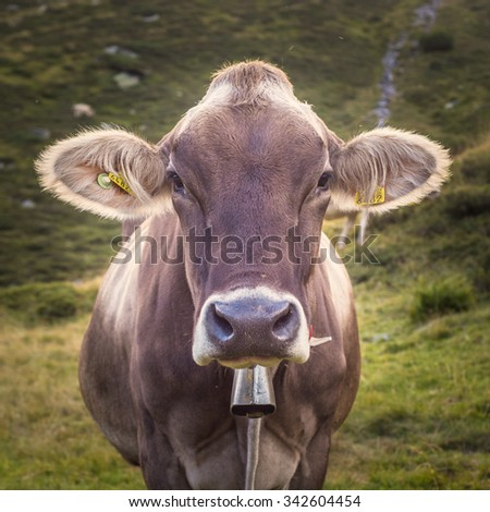 Closeup of a Swiss Dairy Cow - stock photo