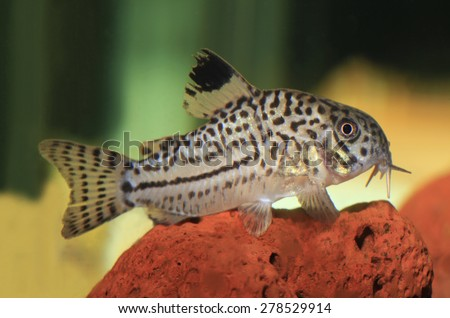 Closeup of a Three-Lined Catfish, Resting on Lava Rock in an Aquarium - stock photo