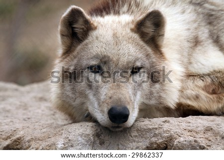 Closeup of a Timber Wolf resting on a large rock.