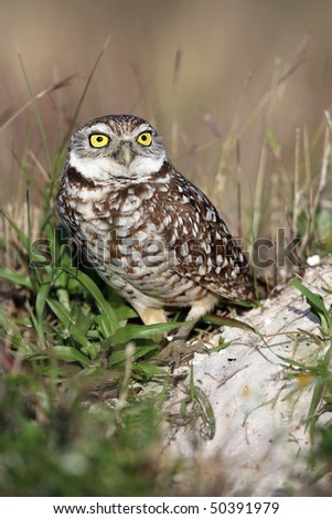 Closeup of a tiny Burrowing Owl in Cape Coral, Florida. - stock photo