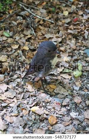 Closeup of a Toutouwai standing on the ground of the Routeburn track