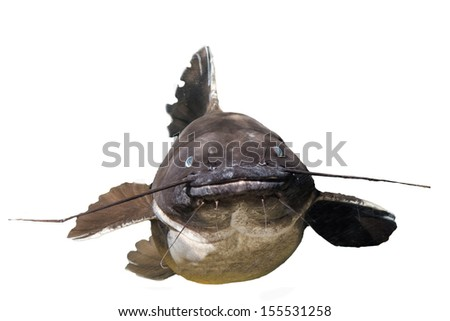 Closeup of a tropical   catfish - stock photo