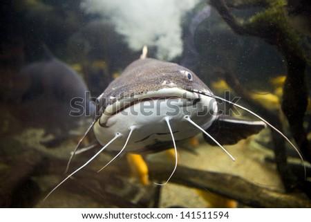Closeup of a tropical redtail catfish, Phractocephalus hemioliopterus, swimming in an aquarium. - stock photo