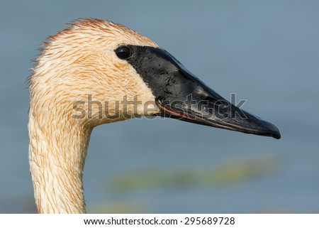 Closeup of a Trumpeter Swan.