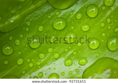 Closeup of a vibrant green leaf with morning dew droplets - stock photo