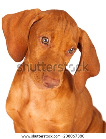 Closeup of a Vizsla dog looking down and to the side - stock photo