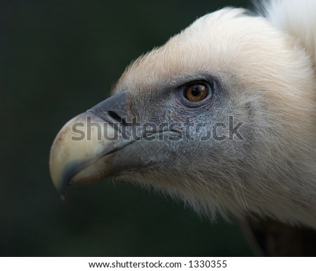 Closeup of a vulture