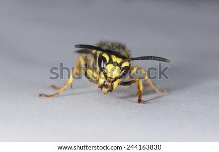 Closeup of a Wasp - stock photo
