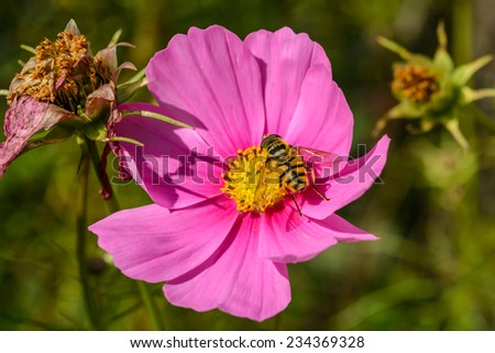 Closeup of a wasp resting on a brightly colored pink flower on a sunny day - stock photo