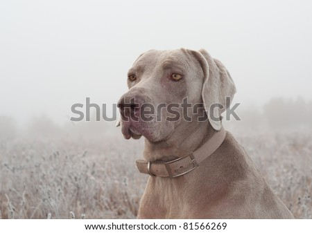 Closeup of a Weimaraner dog on a cold foggy winter morning - stock photo