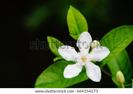 Closeup Of A White Flower (Wrightia antidysenterica) Beautiful white gardenia flower green leaves background in natural garden