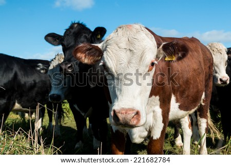 Closeup of a white head cow in a herd of cattle.