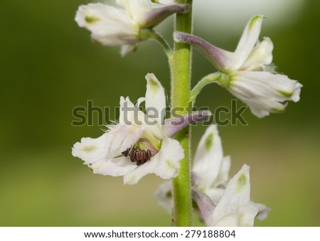 Closeup of a white Prairie Larkspur, a wild native prairie plant - stock photo