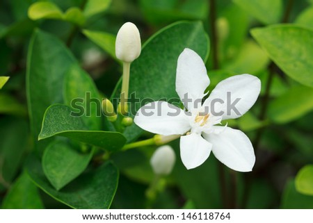 Closeup Of A White Snowflake Flower (Wrightia antidysenterica)