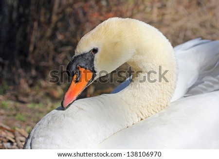 Closeup of a white swan - stock photo