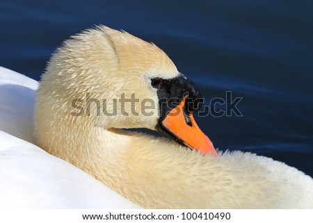 Closeup of a white swan against lake surface - stock photo
