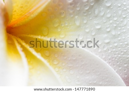 Closeup of a white, yellow and pink plumeria bloom with dew drops - stock photo
