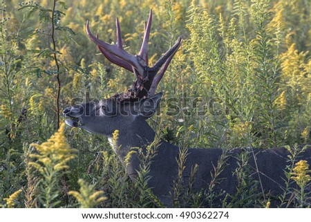 Closeup of a whitetail buck eating in a field of wild flowers