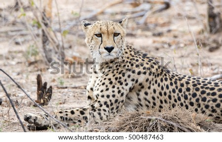 Closeup of a Wild Cheetah (Acinonyx jubatus) Lying on the Ground in Africa
