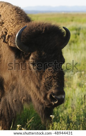 closeup of a wild free roaming Buffalo in Teton National Park - stock photo