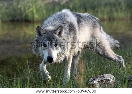 Closeup of a Wolf stalking prey through a marsh. - stock photo