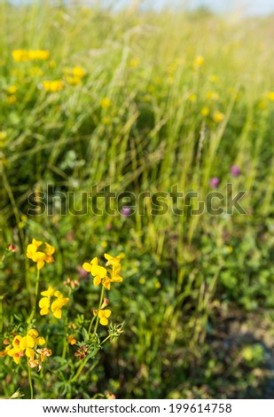 Closeup of a yellow blooming Bird's Foot-Trefoil or Lotus corniculatus plant against its blurred natural habitat on a sunny day in the beginning of the summer season. - stock photo