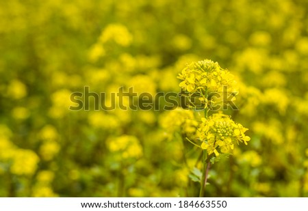 Closeup of a yellow budding and flowering Wild Mustard or Sinapis arvensis plant against a blurred field full of these yellow flowers. - stock photo