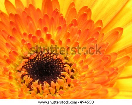 Closeup of a yellow gerber daisy.