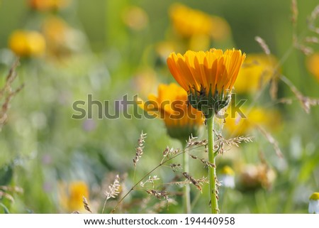 Closeup of a yellow summer flower in a colorful flower bed. shallow depth of field. - stock photo