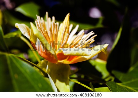 Closeup of a yellow tulip tree flower on green leafs background - stock photo