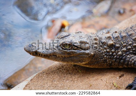 Closeup of a young crocodile at Meserani Snake Park, Tanzania - stock photo
