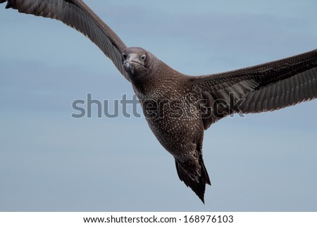 Closeup of a young gannet diving for food in the North Sea in the Netherlands, near Texel and Den Helder