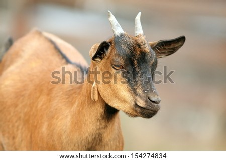 closeup of a young goat male at the farm