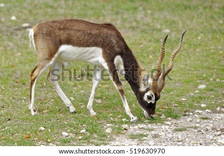 Closeup of a young male Blackbuck Antelope in grassland