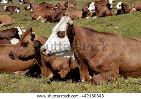 Closeup of Abondance cow lying on grass in the French Alps in Savoie department at La Plagne - stock photo