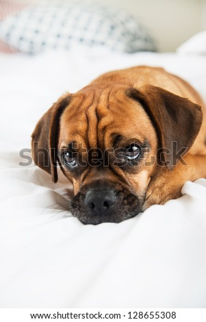 Closeup of Adorable  Puggle Puppy Laying on Owners Bed