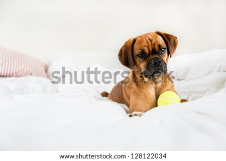 Closeup of Adorable  Puggle Puppy Laying on Owners Bed with Yellow Tennis Ball - stock photo