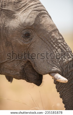 Closeup of african elephant in the wild