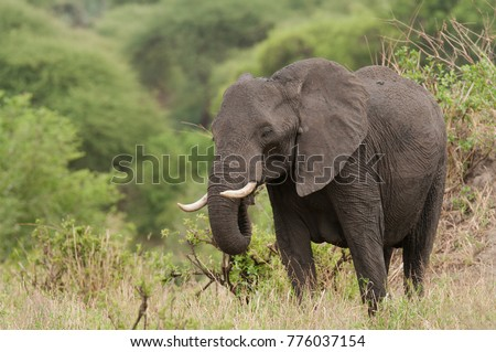 "Closeup of African Elephant (scientific name: Loxodonta africana, or ""Tembo"" in Swaheli) in the Tarangire National park, Tanzania"