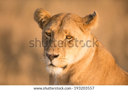Closeup of African Lion in the wild