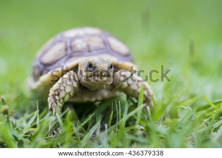 closeup of african spurred tortoise or geochelone sulcate on grass - stock photo